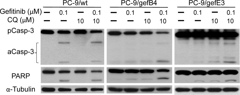 Activation of apoptotic pathway by gefitinib and chloroquine in PC-9/wt and PC-9/gef ells. PC-9/wt, PC-9/gefB4 and PC-9/gefE3 cells were treated with gefitinib (100 nM) and chloroquine (CQ, 10 μM) for 24 h. Total protein of treated cells was harvested. Procaspase 3, active caspase 3, PARP cleavage levels was analyzed with Western blot assay. Each lane contained 30 μg protein for all experiments. Results were repeated in independent experiments.