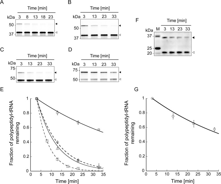 Lifetimes of the translation arrest of HaloTag proteins harbouring the arrest sequence. ( A - D ) Time-course analyses of polypeptidyl-tRNA remaining after the addition of puromycin. Halo-L17-SecM 133–170 ( A ), Halo-L26-SecM 133–170 ( B ), Halo-pD-L8-SecM 133–170 ( C ) and Halo-SecM 1–170 ( D ) were translated in the presence of HaloTag TMR Ligand using the PURExpress ΔRibosome Kit at 37°C for 20 min. Puromycin (1 mg/mL) was added to the reaction mixture at 0 min, and the mixture was incubated at 37°C. Aliquots removed at the indicated time points were subjected to NuPAGE. Polypeptides labelled with HaloTag TMR Ligand were detected using Molecular Imager FX. Black and white arrowheads indicate the translation arrest products (polypeptidyl-tRNA) and released products, respectively. ( E ) Plots of the fraction of polypeptidyl-tRNA remaining in the presence of puromycin as a function of time. Squares, Halo-L17-SecM 133–170 ; diamonds, Halo-L26-SecM 133–170 ; triangles, Halo-pD-L8-SecM 133–170 ; circles, Halo-SecM 1–170 . Data points represent means ± SD of three independent experiments. The solid and dotted lines show the fit to the data obtained using a single exponential function. The lifetimes of the translation arrest of Halo-L17-SecM 133–170 , Halo-L26-SecM 133–170 , Halo-pD-L8-SecM 133–170 and Halo-SecM 1–170 were 5.6 ± 0.066, 11 ± 0.22, 9.4 ± 0.63 and 51 ± 1.6 min, respectively (the errors represent fitting errors). ( F ) Time-course analysis of myc-SecM 1–170 polypeptidyl-tRNA remaining after the addition of puromycin. Myc-SecM 1–170 was translated using the PURExpress ΔRibosome Kit at 37°C for 40 min. Puromycin (1 mg/mL) was added at 0 min, and the mixture was incubated at 37°C. Aliquots were withdrawn at indicated time points and subjected to NuPAGE. Myc-SecM 1–170 was detected by western blotting with anti-c-myc-tag. Black and white arrowheads indicate the translation arrest products (polypeptidyl-tRNA) and released products, respectively. ( G ) The fractio