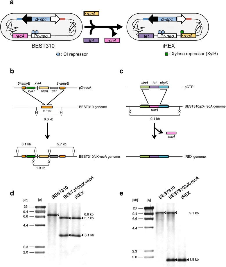 Construction of the recA -inducible BGM vector system. (a) The BEST310 and iREX constructs that possess two antibiotic resistance gene cassettes for BAC cloning: Pr- neo , a lambda Pr promoter fused to the neomycin resistance gene ( neo ), and c I- spc , which contains c I encoding the CI repressor protein, which binds to the Pr promoter, fused to the spectinomycin resistance gene ( spc ). The closed and open arrows indicate the BAC cloning site, and the red and blue lines indicate the pBR322 sequence. (b) The inducible recA expression cassette, pX-recA, was inserted at the amyE locus of the BEST310 genome via homologous recombination. amyE is not essential for the viability of B. subtilis [ 15 ] . cat , chloramphenicol acetyltransferase; H, HindIII; X, XhoI. (c) After introducing the pX-recA, the endogenous recA was replaced with the tetracycline resistance gene ( tet ) via homologous recombination. X, XhoI. (d) Southern blot analysis using an amyE probe indicated the correct insertion of pX-recA. The genomic DNA of the represented clones was digested with HindIII. The open arrowhead indicates the intact amyE in BEST310. The closed arrowheads indicate 5'- amyE and 3'- amyE divided by the insertion of pX-recA. (e) Southern blot analysis using a recA probe indicated the correct insertion of pCTP. The genomic DNA of the represented clones was digested with XhoI. The open arrowheads indicate the endogenous recA . The closed arrowheads indicate the inducible recA derived from pX-recA.