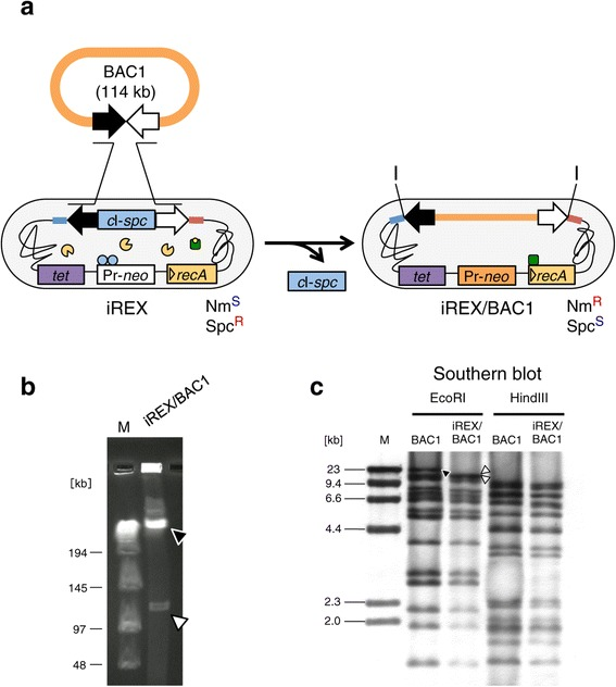 Cloning of BAC1 into the iREX. (a) One-step cloning of BAC1 into the iREX. Nm S , neomycin sensitive; Nm R , neomycin resistant; Spc S , spectinomycin sensitive; Spc R , spectinomycin resistant; I, I-PpoI recognition sequence. (b) iREX/BAC1 was digested with I-PpoI followed by CHEF gel electrophoresis. The BAC1 insert is indicated as an open arrowhead, and the BGM vector is indicated as a closed arrowhead. A lambda DNA concatemer was used as a size marker in lane M. (c) Original BAC1 and genomic DNA of the iREX recombinant were digested with EcoRI or HindIII and hybridized with the original BAC1 clone as a probe. Band patterns identical to the original BAC1 clones were confirmed in the iREX recombinant, except for the bands derived from the BAC end sequences. The closed arrowhead indicates a BAC1-specific signal, and the open arrowheads indicate BGM-specific signals. In lane M, lambda/HindIII fragments were used as a size marker.