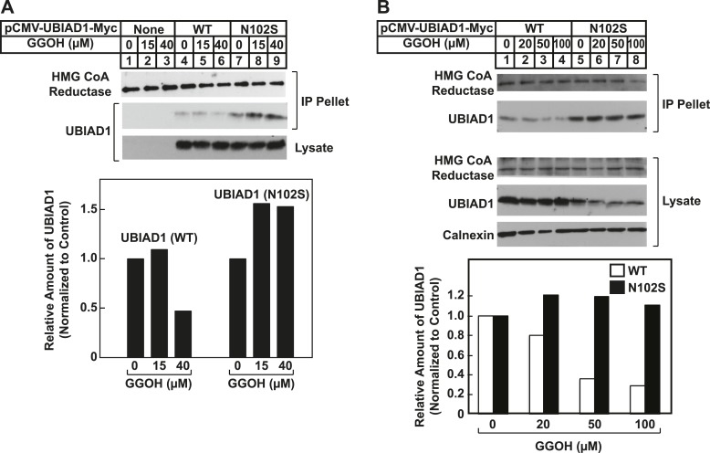 SCD-associated <t>UBIAD1</t> (N102S) resists geranylgeraniol-mediated displacement from HMG CoA reductase in two independent experiments ( A and B ). UBIAD1 − /pCDNA3.1, UBIAD1 − /pMyc-UBIAD1 (WT), and UBIAD1 − /pMyc-UBIAD1 (N102S) cells were set up for experiments on day 0 at a density of 4 × 10 5 cells per 60-mm dish in medium A containing 10% FCS. On day 3, cells were depleted of sterols as described in the legend to Figure 4 . After 16 hr at 37°C, cells received the identical medium containing 1 µg/ml 25-HC in the absence or presenc e of the indicated concentration of geranylgeraniol. After 45 min at 37°C, cells were harvested, lysed, and immunoprecipitated with <t>polyclonal</t> anti-reductase antibodies. Aliquots of the precipitated material and the lysates were subjected to SDS-PAGE and immunoblot analysis was carried out with <t>IgG-A9</t> (against reductase), IgG-H8 (against UBIAD1), and anti-calnexin IgG. Proteins corresponding to immunoprecipitated UBIAD1 were quantified using ImageJ software. The intensities of these signals in the absence of geranylgeraniol were arbitrarily set as 1. DOI: http://dx.doi.org/10.7554/eLife.05560.017