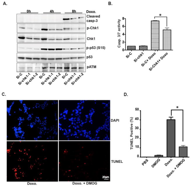 DMOG inhibits HL-1 cardiomyocyte apoptosis induced by doxorubicin (A) HL-1 cells were transfected with two sets of si-RNA for Chk1 or scramble si-RNA as the control (Si-C) for two days. Cells were then treated with doxorubicin (1μM) as indicated. Western blots were then performed with the indicated antibodies. (B) After two days transfection with si-RNAs, HL-1 cells were treated with doxorubicin (1μM) for 8 hours and then harvested for caspase3/7 activity assay. Knocking down the expression of Chk-1 significantly inhibits caspase3/7 activity. N = 3, *p