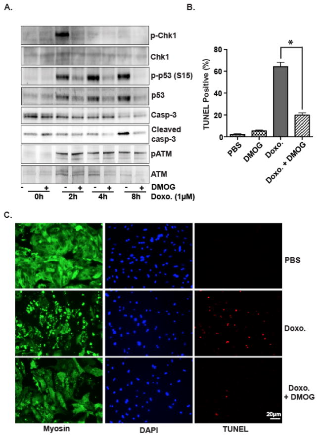 DMOG inhibits DNA damage response and apoptosis induced by doxorubicin in primary cardiomyocytes (A) Neonatal rat ventricular myocytes were pre-treated with DMOG for 4h and then treated with doxorubicin (1μM) as indicated. Western blots were performed with the indicated antibodies. (B), (C) Neonatal rat ventricular myocytes were treated with doxorubicin for 16h with or without pretreatment of DMOG. Cardiomyocyte apoptosis was then analyzed with TUNEL staining. Neonatal rat ventricular myocytes were also immunostained with MF20 antibody, which specifically recognizes myosin of striated muscle cells. Quantitative analysis is from 3 independent experiments. *p