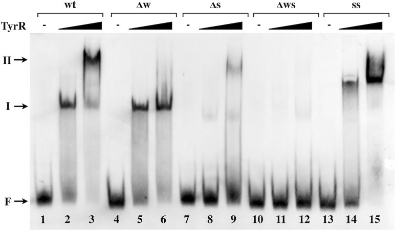 Binding of TyrR to the TyrR boxes within the akr-ipdC intergenic region. DIG-labeled DNA probes correspond to the akr-ipdC intergenic sequence of the template plasmid from which they were generated, wild-type sequence (Lanes 1–3); weak box mutant (Lanes 4–6); strong box mutant (Lanes 7–9); double weak and strong box mutant (Lanes 10–12) and double strong boxes (lanes 13–15). DNA probes were incubated with either no TyrR (Lanes 1, 4, 7, 10 and 13) or increasing concentrations of TyrR (87 nM: Lanes 2, 5, 8, 11 and 14; 877 nM: Lanes 3, 6, 9, 12 and 15). Arrows indicate the positions of free DNA (F) and the two resolved TyrR-DNA complexes (I, II).