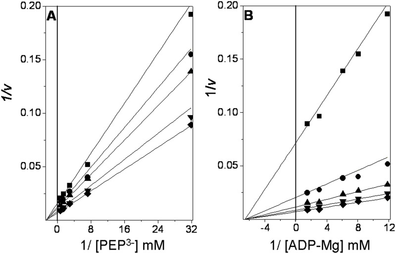Double reciprocal plots from the initial velocity data of the Tp PK reaction. The reaction medium consisted of 3 ml of 50 mM Tris-HCl pH 6.0 containing 0.24 mM NADH, 30 mM Mg 2+ free , and 8 μg/ml LDH. The reciprocals of the concentrations of ionized PEP and ADP-Mg complexes are shown in the abscissas of each graph. A . The fixed concentrations of ADP-Mg were 0.084 (■), 0.12 (●), 0.16 (▲), 0.37 (▼), and 0.67 mM (♦). B . The fixed concentrations of PEP 3- were 0.031 (■), 0.14 (●), 0.34 (▲), 0.69(▼), and 1.30 mM (♦). The Mg 2+ free concentration was kept constant at 30 mM. To maintain the ionic strength, (CH 3 ) 4 NCl was added to a final salt concentration of 0.25 M. The reaction was started with the addition of PK. The concentrations of PK were 0.32 and 0.16 μg/ml for the three lowest and two highest substrate concentrations, respectively.