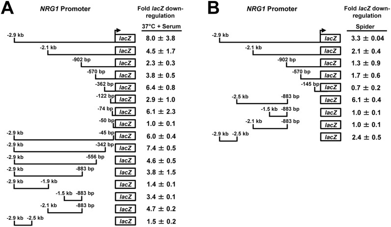 Deletion analysis of the NRG1 promoter identifies specific response elements for serum at 37°C and Spider. Strains bearing the indicated NRG1 promoter- lacZ reporter constructs were grown under both non-filament-inducing (YEPD at 30°C) and filament-inducing (YEPD + 10% serum at 37°C or Spider at 30°C) conditions. Cells were harvested from both non-inducing and filament-inducing cultures for total RNA isolation and cDNA synthesis. For the serum and temperature induction experiment (A) cells were harvested at the 30 minute post-induction time point and for the Spider induction experiment (B) cells were harvested at the 6 hr. post-induction time point. lacZ expression was determined by qRT-PCR and normalized to ACT1 levels. Fold down-regulation of lacZ was determined by dividing normalized lacZ values obtained from cells grown under non-filament inducing conditions by normalized lacZ values obtained from cells induced to form filaments under each condition.