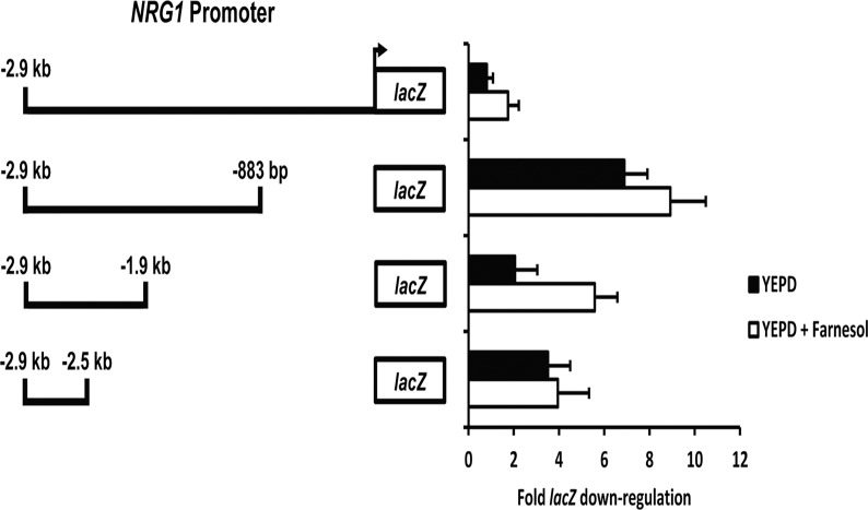 Identification of hyphal shock response elements in the NRG1 promoter. Strains bearing the indicated NRG1 promoter- lacZ reporter constructs were grown overnight under non-inducing conditions (YEPD at 30°C) and diluted into fresh YEPD medium in the presence or absence of 40 μM farnesol at 30°C. Cells were harvested from both the overnight culture (zero time point) as well as at 30 minutes following dilution for total RNA isolation and cDNA synthesis. lacZ expression values were determined by qRT-PCR and normalized to ACT1 levels. Fold down-regulation of lacZ was determined by dividing normalized lacZ values from cells grown overnight under non-filament inducing conditions (zero time point) by normalized lacZ values from cells diluted into fresh YEPD or YEPD plus 40 μM farnesol.