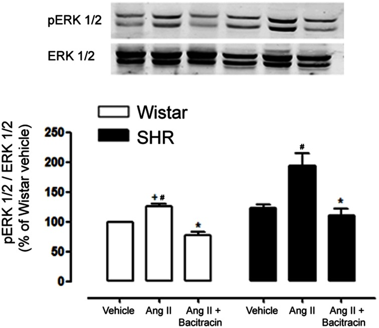 PDI inhibition decreases Ang II induced ERK 1/2 activation in mesenteric resistance arteries of Wistar and SHR . Ang II rapidly induced ERK 1/2 phosphorylation (p-ERK; 5 min) and this activation is increased in SHR mesenteric arteries as compared to Wistar. PDI inhibition (Bacitracin 0.5 mmol/L) significantly abolished p-ERK 1/2 in mesenteric arteries of both strains. Upper panel shows a representative blot for three experiments. Bar graph indicates relative quantification of p-ERK content expressed as the ratio between pERK and ERK 1/2 and normalized to the vehicle group, taken as 100%. Results are expressed as percentage of Wistar vehicle and represent mean ± SEM.  * p