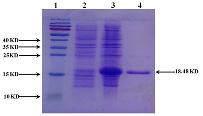 SDS-PAGE analysis of the CDA expression. E . coli <t>BL21</t> (DE3) cells containing pET-28a- cdd were grown and induced with 1 mM IPTG. The cells were sonicated and then centrifuged to divide into two fractions, soluble and insoluble fractions. Soluble fraction was then purified using Ni-NTA agarose. Lane 1, size markers; Lane 2, total proteins of the uninduced cells; Lane 3, total proteins of the IPTG-induced cells; Lane 4, purified protein of CDA.