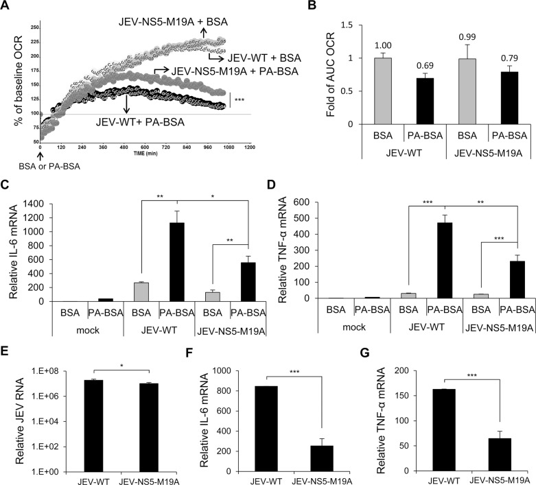 The recombinant JEV with NS5-M19A mutation is less able to block LCFA β-oxidation and induces less cytokine expression. (A and B) A549 cells infected with JEV-WT or JEV-NS5-M19A (MOI = 10) for 5 h were changed to serum-free medium for 1 h, then incubated with PA-BSA or BSA control. (A) Real-time OCR was measured from 6 to 24 h post-infection. The OCR before PA-BSA or BSA treatment was set to 100%. (B) The AUC OCR with PA-BSA and BSA (n = 3). (C and D) A549 cells infected with the indicated JEV (MOI = 10) for 5 h were incubated with serum-free medium for 1 h before treatment with PA-BSA or BSA for 18 h. RT-qPCR analysis of relative mRNA levels of IL-6 (C) and <t>TNF-α</t> (D) (n = 3). (E-G) A549 cells were infected with JEV-WT or JEV-NS5-M19A (MOI = 10) for 24 h in serum (10% FBS)-containing medium. RT-qPCR analysis of relative mRNA levels of JEV RNA (E), IL-6 (F) and TNF-α (G) (n = 3). Data are mean±SD.*P