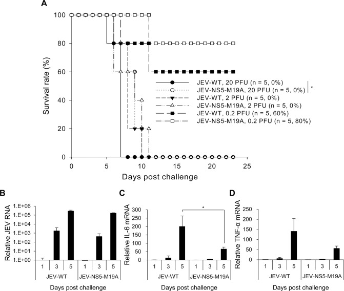 Reduced neurovirulence of NS5-M19A—mutated JEV in challenged mice. (A) Survival in C57BL/6 mice infected with 0.2, 2 or 20 plaque-forming units (PFU) of JEV-WT or JEV-NS5-M19A by an intracerebral (i.c.) injection. The animal number ( n ) and survival rate for each group are shown. (B-D) RT-qPCR of relative JEV RNA (B), IL-6 (C), and TNF-α (D) mRNA levels in brain tissues of mice inoculated with JEV-WT or JEV-NS5-M19A (20 PFU) (n = 3). Data are mean±SD.*P