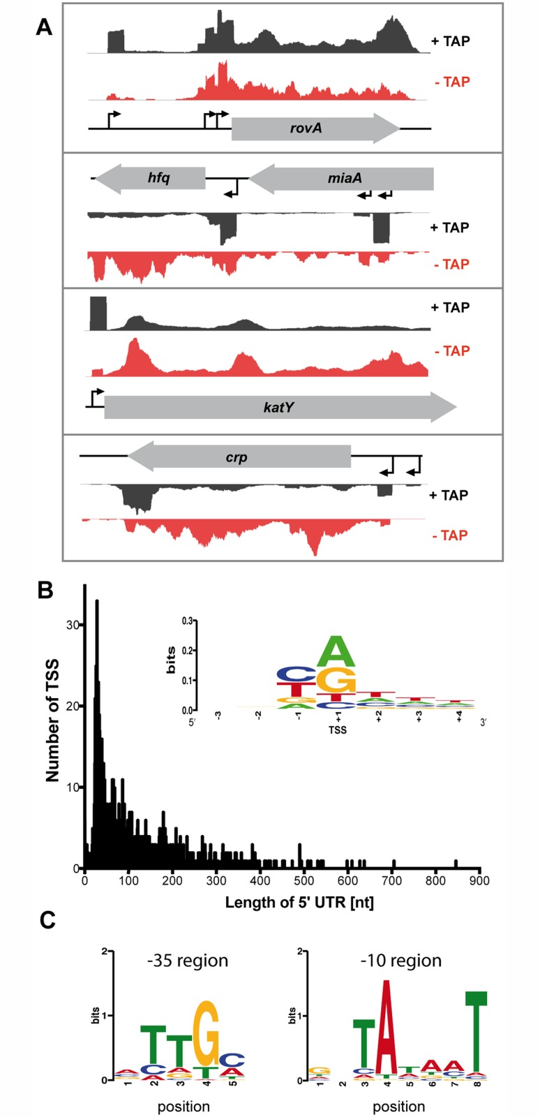 Global identification of mRNA transcriptional start sites (TSSs). (A) Visualization of RNA-seq (+/- TAP) based cDNA sequencing reads mapped to the YPIII rovA , hfq , katY and crp gene locus using the Artemis genome browser (Release 15.0.0). (B) The 5'-UTR repertoire. The distribution and frequency of the length of 5'-UTRs is given for all mRNAs of YPIII which start upstream of the annotated translational start site. More than 40% of all 5'-UTRs are 20–60 nt in length. (Inset) Sequence conservation at the TSSs. Sequence logo computed from 1151 unaligned TSS regions (TSS is located at position +1) showing nucleotide conservation around the TSSs. The initial nucleotide of transcripts (position +1) is dominated by purines while position -1 is dominated by pyrimidines. (C) Detected conserved sequence motifs in the -35 and -10 promotor region.