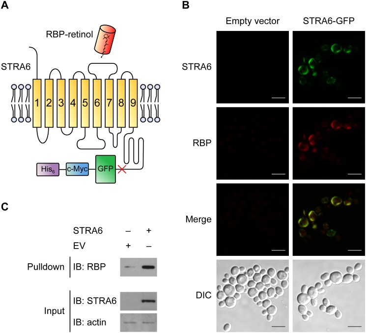 Functional expression of STRA6-GFP in Pichia pastoris . (A) Schematic of the STRA6-GFP-c-Myc-His 6 construct designed in this study. The location of a HRV 3C protease cleavage site is indicated by the red cross. (B) Co-localization of STRA6-GFP and DyLight594-conjugated holo-RBP at the cell surface of Pichia pastoris as determined by confocal microscopy. Top panel: GFP fluorescence, indicating the location of STRA6-GFP at the cell surface. Second panel: DyLight-594 fluorescence, showing the binding of RBP to the surface of cells transformed with STRA6-GFP but not empty vector. Third panel: merged image showing the colocalization of STRA6-GFP and DyLight-594 RBP at the cell surface. Bottom panel: Differential interference contrast (DIC) image of the yeast cells. Scale bar: 5 μm (C) Co-purification of holo-RBP with broken cells isolated from yeast transformed with STRA6-GFP but not with broken cells from empty-vector-transformed cells.