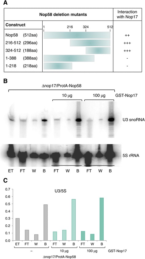Nop58 interacts with Nop17 through its C-terminal portion. (A) Schematics summarizing the results of two-hybrid assay with deletion mutants of Nop58 and Nop17. Nop58(324–512) mutant interacts with Nop17. (B) Co-immunoprecipitation of RNA with ProtA-Nop58 in the absence or presence of different amounts of Nop17. Incubation of total extract with IgG-sepharose beads was performed for 2 h at 4°C in the presence or absence of purified GST-Nop17. Co-immunoprecipitated U3 snoRNA was detected by northern blot. 5S rRNA was used as an internal control. (C) Quantitation of the U3 bands corrected by 5S bands after northern hybridization.