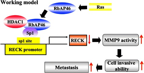 A schematic hypothetical model shows that RbAp46 is a Ras up-regulated gene which participates in Ras-induced experimental lung metastasis through binding with HDAC1 and Sp1 to suppress RECK expression followed by MMP-9 activation and metastasis.