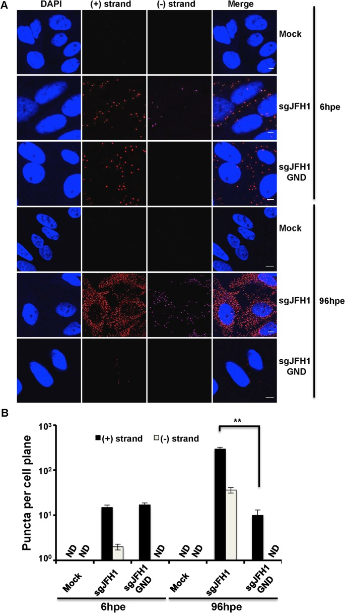 Strand specific HCV RNA detection in fixed cells. A . Huh-7.5 cells were electroporated with the indicated HCV RNA constructs and cells were fixed and processed for RNA detection at 6 and 96 hours post-electroporation. Scale bar is 5 μm. B . Quantification of images in panel A. Error bars represent standard deviation from 25 different images. ND = not detected. ** p = 0.0008.