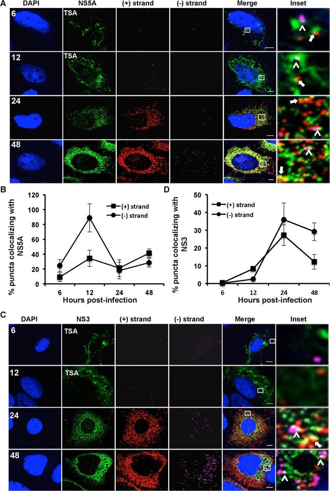 Colocalization of (+) and (−) strand HCV RNAs with NS5A and NS3. Huh-7.5 cells were infected with HCV at MOI = 1.5 and at the indicated times post-infection the cells were fixed and processed for strand specific RNA detection followed by immunofluorescence staining for A . NS5A or C . NS3. For 6 and 12 hpi samples, antibody signal was amplified using the tyramide signal amplification kit (TSA) as described in the materials and methods section. Scale bar is 5 μm. B . Quantitation of (A) D . Quantitation of (C). Each error bar indicates standard deviation from 25 different images. Scale bar is 5 μm. Insets represent 10 times magnification of the merged image. Solid arrows point to (+) strand RNA colocalizing with NS5A and NS3; arrowheads point to (−) strand RNA colocalizing with NS5A and NS3.