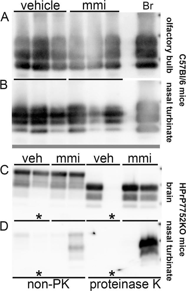 Western blot of prion protein in brain, olfactory bulb, and nasal turbinate of mice following intranasal inoculation of prions in the absence and presence of a preexisting lesion to the olfactory epithelium. Immunodetection of the prion protein in tissues from C57Bl/6 mice (A, B) and HPrP7752KO transgenic mice (C, D) following intranasal inoculation of RML scrapie and HY TME, respectively. Mice were pretreated with vehicle (veh) and methimazole (mmi) 48 hours prior to prion inoculation. Clinically ill C57Bl/6 mice all had PrP Sc  deposition in brain (not shown), olfactory bulb (A), and nasal turbinate (B) following proteinase K (PK) digestion of tissue homogenates (A) and PrP Sc  enrichment methods that included a PK digestion step (B). In clinically ill HPrP7752KO mice, PrP Sc  was detected in brain (C), olfactory bulb (not shown), and in  > 75% of nasal turbinates (D) following PrP Sc  enrichment. Asterisk (C, D) indicates a mouse that did not develop clinical symptoms of prion disease and was devoid of PrP Sc . In non-proteinase K (non-PK) treated samples, 20 μg protein from brain (C) and 40 μg protein from nasal turbinate (D) were analyzed while for PK treated samples, 100 μg protein from brain (C) and 1 mg protein from nasal turbinate (D) were used as starting material for PrP Sc  enrichment and analysis. RML scrapie-infected brain (Br) control is indicated.