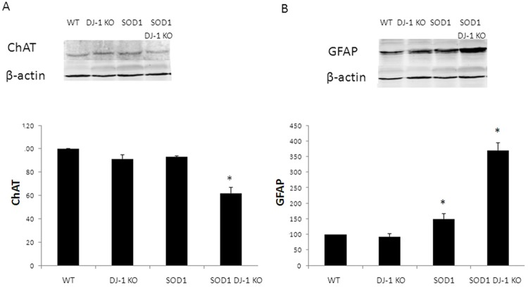 Motor neuron loss and astrogliosis in the spinal cords of SOD1 DJ-1 KO. Choline acyl transferase (ChAT, A) and glial fibrillary acidic protein (GFAP, B) levels were determined in the spinal cord extracts by Western blot analysis. Proteins levels were normalized to beta actin. Data is presented as averages ± SD. * p