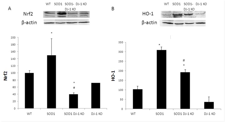 Attenuated Nrf2 system in SOD DJ-1 KO mice. Mutated SOD1 increased the expression of Nrf2 and HO-1 while SOD1 DJ-1 KO demonstrated reduction. Nuclear factor erythroid-2 related factor 2 (Nrf2, A) and hemeoxygenase 1(HO-1, B) protein levels were determined in the spinal cord extracts by Western blot anlysis. Proteins levels were normalized to beta actin. Data is presented as averages ± SD. * p