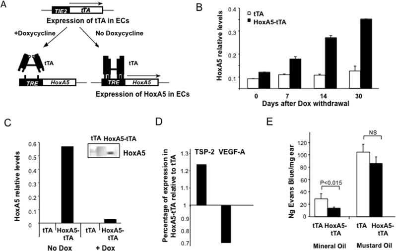HoxA5 is expressed in EC in TRE-HoxA5/TIE2-tTA mice. ( A ) Schematic of the TRE-HoxA5-TIE2-tTA system for inducible and restricted expression of Hox A5 in ECs in FvBn mice. When the double transgenic mice are maintained on a Dox diet the activator cannot bind the TRE promoter. However in the absence of Dox, tTA binds the TRE activating transcription and HoxA5 expression. Expression of the transgene is restricted to EC by driving tTA using the TIE-2 promoter enhancer [ 12 ]. ( B ) Real Time PCR analysis of HoxA5 transgene mRNA expression in mouse liver at various times following withdrawal of Dox from the diet in control TIE-2-tTA (tTA) and TRE-HoxA5-TIE2-tTA (HoxA5-tTA) mice. Results are expressed relative to the housekeeping gene GUSB (n = 3). ( C ) HoxA5 expression levels in ECs isolated from lungs of tTA and HoxA5-tTA mice. Histogram shows HoxA5 mRNA levels measured by real time PCR in the presence of Dox (1μg/ml) or 48 hours following removal of Dox in the cell culture media. Insert shows corresponding Western blot of protein lysates extracted from lung EC isolated from tTA and HoxA5-TA mice and detected via polyclonal antibodies against HoxA5. ( D ) Real time PCR analysis of relative mRNA expression levels of thrombospndin-2 (TSP-2) and VEGF-A levels one month after removal of Dox from the diet of HoxA5-tTA mice. Results are expressed relative to mRNA levels in age-matched tTA control mice lacking the HoxA5 transgene or Dox in the diet. ( E ) Vascular permeability in tTA or HoxA5-tTA mice. Measurement of extravasated Evans Blue dye 30 minutes following topical application of mineral oil (control, left panel) or Mustard oil to induce an acute leakage (right panel; n = 4).