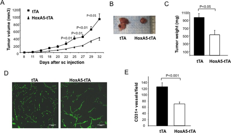 HoxA5 expression in EC inhibits angiogenesis and growth of allograph mammary tumors. ( A ) Tumor volume in tTA (square) and HoxA5-tTA (triangle) 8 week old mice (3 weeks + Dox, 5 weeks—Dox), 32 days following subcutaneous injection of MMTV-PyMT tumor cells into syngeneic female FVB/n mice. The analysis revealed a significant reduction (p