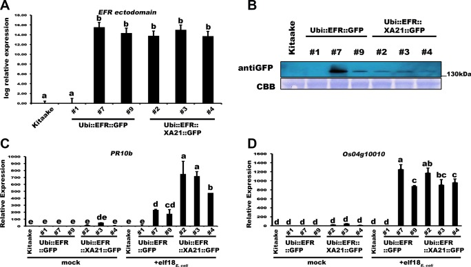 Transgenic expression of EFR and EFR::XA21 in rice leads to elf18 E . coli responsiveness. (A) Relative expression level of EFR and EFR :: XA21 in three independent PCR positive transgenic lines for each immune receptor. Expression was measured by qRT-PCR using primers annealing to the EFR ectodomain. Bars depict average expression level relative to actin expression ± SE of three technical replicates. This experiment was repeated at least three times with similar results. (B) Protein level of EFR and EFR::XA21 using an anti-GFP antibody detecting the C-terminal GFP fusion protein. Upper panel anti-GFP western blot, lower panel CBB stain of membrane as loading control. See S4 Fig for full western blot. Defense gene expression of PR10b (C) and Os04g10010 (D) in response to elf18 E . coli (500 nM) in mature leaves of the three independent Ubi :: EFR :: GFP and Ubi :: EFR :: XA21 :: GFP lines. Expression levels were measured by qRT-PCR and normalized to actin reference gene expression. Data shown is normalized to the Kitaake mock treated (2 hour) sample. Bars depict average expression level ± SE of three technical replicates. This experiment was repeated twice with similar results. Statistical analysis was performed using the Tukey-Kramer HSD test. Different letters indicate significant differences (p
