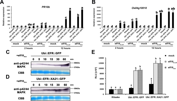 EFR and EFR::XA21 recognize the elf18 sequence derived from Xoo EF-Tu. Defense gene expression of PR10b (A) and Os04g10010 (B) in response to elf18 E . coli or elf18 Xoo at a concentration of 500 nM in mature leaves of Kitaake, Ubi :: EFR :: GFP -9-11-12 and Ubi :: EFR :: XA21 :: GFP -3-6-7 lines. Expression levels were measured by qRT-PCR and normalized to actin reference gene expression. Data shown is normalized to the Kitaake mock treated (2 hour) sample. Bars depict average expression level ± SE of three technical replicates. Fully mature leaves of Ubi :: EFR :: GFP -9-11-12 (C) and Ubi :: EFR :: XA21 :: GFP -3-6-7 (D) lines were treated with 1 μM elf18 E . coli for the indicated time. Upper panel anti-p42/44 MAP kinase western blot on total protein extracts, lower panel CBB stain of membrane as loading control. (E) Total ROS production over 3 hours in response to elf18 E . coli or elf18 Xoo at a concentration of 100 nM in mature leaves of Kitaake, Ubi :: EFR :: GFP -9-11-12 and Ubi :: EFR :: XA21 :: GFP -3-6-7 lines. Bars depict average relative light production ± SE of at least six biological replicates. Statistical analysis was performed using the Tukey-Kramer HSD test. Different letters indicate significant differences (p
