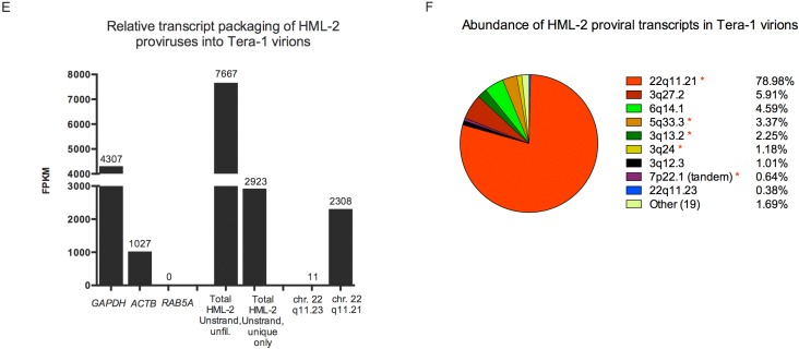 HML-2 expression in Tera-1 cells and virions. ( A , B ) RNASeq reads originating from Tera-1 cells were aligned to the hg19 build of the human genome and analyzed using the Plus stranded, Unique Only analysis, except as indicated. ( E – F ) RNASeq reads originating from Tera-1 virions were aligned to the hg19 build of the human genome and analyzed using the Unstranded, Unique Only analysis, except as indicated, due to the input library not being stranded. ( A , E ) Relative transcript expression values (FPKM) for cellular genes, total HML-2 and the most abundantly expressed or packaged HML-2 transcripts are plotted for Tera-1 cells ( A ) and Tera-1 virions ( E ). ( B , F ) Abundance of transcripts for each provirus in Tera-1 cells ( B ) and virions ( F ) is plotted according to (provirus FPKM)/(total HML-2 FPKM) × 100. Proviruses with (*) were predicted to be underrepresented by the in silico analysis, as used in Figure 1 . ( C ) Open reading frames for gag , pol and env were determined for proviruses making up 96.81% of all HML-2 reads shown in Figure 2 B. If a provirus had the potential to express open reading frame(s) (ORF(s)), the abundance of the provirus in the cell was allocated to each ORF, as this represents the maximum probability of that ORF being expressed. Splicing was not considered for this analysis. ( D ) Type 1/2 status was determined for HML-2 proviruses making up 96.81% of all HML-2 reads, listed in Figure 2 B. Unknown indicates that the entire pol - env boundary region was not present in the provirus, preventing identification of provirus type.