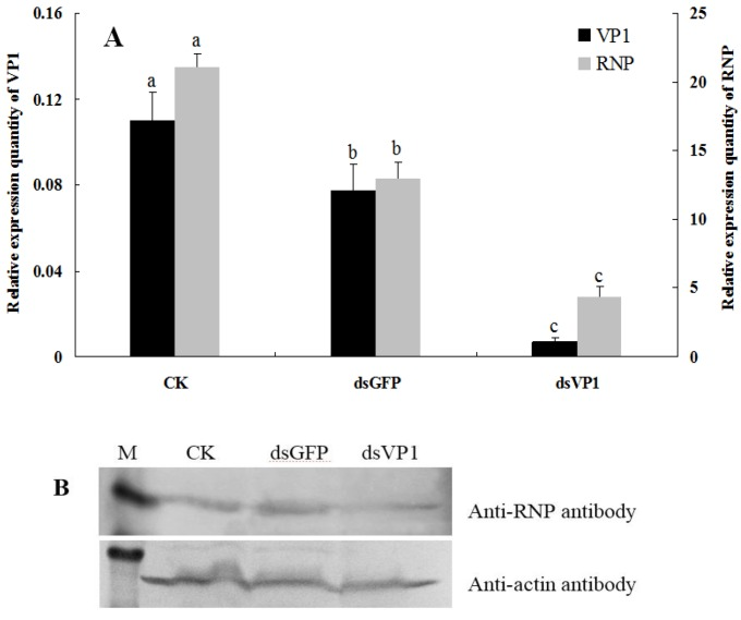 Detection of RSV accumulation levels in SBPHs after feeding-based RNA interference (RNAi). ( A ) The levels of HiPV VP1 and RSV RNP transcripts in insects after feeding them artificial diets without dsRNA (CK), dsGFP and dsVP1 (with 150 ng/μl dsRNA concentration for 6 days). After qRT-PCR, the levels of VP1 and RNP transcripts were normalized relative to the β -actin transcript according to the ΔC T algorithm, and the resulting 2 −ΔCt values were used to plot with different feeding treatments as the abscissa. The left ordinate indicates the expression levels of VP1 , and the right ordinate indicates the expression levels of RNP . Each histogram bar represents the mean (±SE) from four repeats, and the different letters above the error bars indicate significant difference as per Tukey's honest significant difference (HSD) test ( p