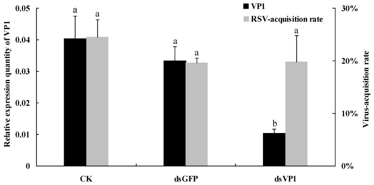 RSV-acquisition ability of SBPH after feeding-based RNAi. After qRT-PCR, the levels of VP1 transcripts in SBPH via different feeding treatments (CK, dsGFP and dsVP1; 150 ng/μL dsRNA concentration for 6 days) were normalized relative to the β -actin transcript according to the ΔC T algorithm. The virus-acquisition rate of SBPH was detected using the DIBA method after a 10-day latent period. The left ordinate indicates the expression levels of VP1 , and the right ordinate indicates RSV-acquisition rate of SBPH. Each histogram bar represents the mean (±SE) from three (CK and dsGFP) or five (dsVP1) repeats, and the different letters above the error bars indicate significant difference as per Tukey's honest significant difference (HSD) test ( p