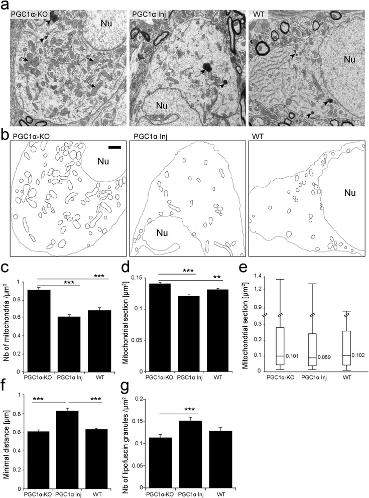PGC-1α reduces the number of mitochondria and rescues the abnormal mitochondrial phenotype observed in the SNpc of PGC1α-KO mice. (a) Electron micrographs of neuronal soma in the SNpc of 10 month-old PGC1α-KO mice, PGC1α-KO mice injected with a vector encoding PGC-1α (PGC1α Inj) and WT mice. Note the presence of lipofuscin granules (black arrowheads) and giant mitochondria with disorganized cristae (black arrows). Nu indicates the neuronal nucleus (Nu). (b) Mitochondria are outlined with black lines. Neuronal nuclei and membranes are outlined with a grey line to indicate the limits of the neuronal cytosol. Note the increase in the density of mitochondrial clusters in PGC1α-KO mice. Scale bar: 1 μm. (c) Quantification of mitochondrial density reveals a significant increase in PGC1α-KO mice compared to the other groups. (d) Average area of mitochondria. Note the increased size in PGC1α-KO mice, compared to PGC1α Inj and WT mice. (e) Box and whisker plots showing the distribution of mitochondrial size in the SNpc of PGC1α-KO, PGC1α Inj and WT mice. The thick line represents the median and the box indicates the 10th and the 90th percentiles. Whiskers show the extreme values for each group. Note the presence of abnormal, enlarged mitochondria in PGC1α-KO mice. (f) Nearest neighbor analysis of mitochondrial distribution in the neuronal cytosol, demonstrating reduced clustering in PGC1α Inj mice. (g) Density of lipofuscin granules, which is significantly increased in the PGC1α Inj group. Statistical analysis: one-way ANOVA with Newman-Keuls post-hoc test; (C,F,G): WT: n = 79 neurons; PGC1α-KO: n = 89 neurons; PGC1α Inj: n = 113 neurons. (D,E): WT: n = 2729 mitochondria; PGC1α-KO: n = 3527; PGC1α Inj: n = 2544; **p