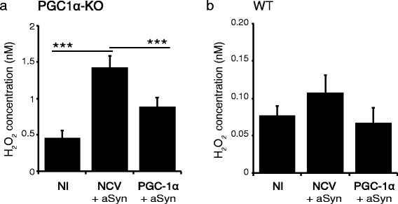 PGC-1α protects primary neuronal cultures of PGC1α-KO mice against oxidative stress induced by aSyn. Seven day-old primary neuronal cultures were derived from the cerebral cortex of PGC1α-KO (a) or WT mice (b) . Individual cultures were co-infected either with the non-coding and aSyn vectors (NCV + aSyn), or with the PGC-1α and aSyn vectors (PGC1α + aSyn). H 2 O 2 concentrations were measured in cell culture media at 7 days post-infection. Note the significant increase in H 2 O 2 production in PGC1α-KO neurons expressing aSyn, which is prevented by PGC-1α expression. In contrast, aSyn does not cause any significant increase in H 2 O 2 production in neurons derived from WT mice. Statistical analysis: one-way ANOVA with Newman-Keuls post-hoc test; NI: n = 14; NCV + aSyn: n = 12; PGC1α + aSyn: n = 14; ***p