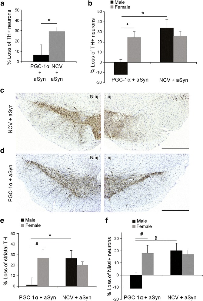 PGC-1α expression protects against aSyn toxicity in the SNpc of male PGC1α-KO mice. PGC1α-KO mice were co-injected with two AAV2/6 vectors encoding for aSyn and PGC-1α (PGC1α + aSyn). The control group is injected with a non-coding vector instead of AAV-PGC-1α (NCV + aSyn). (a) Loss of TH-positive neurons in the SNpc at 6 months post-injection. PGC-1α overexpression induces significant protection against aSyn toxicity. Statistical analysis: Student's t test; PGC1α + aSyn: n = 10; NCV + aSyn: n = 10; *p