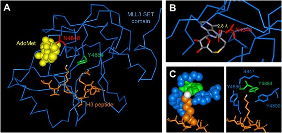 Structure of the MLL1-SET domain bound to the H3 peptide and cofactor product S-adenosyl-L-homocysteine (AdoHcy) (pdb code 2W5Y). Note that an MLL3 structure currently is not available. (A) The protein is shown as blue ribbon, and the peptide is shown in orange in the stick model with the target nitrogen atom colored white. The residues corresponding to Asn4848 and Tyr4884 are displayed in red and green, respectively, the corresponding alignment of MLL1 and MLL3 is shown in Additional file 1 : Figure S4. (B) Details of the MLL1-SET structure showing that N3906 (corresponding to N4848) is involved in an H-bond to AdoMet (shown in stick model with coloring by atom type). (C) Details of the MLL1-SET structures showing the hydrophobic and aromatic pocket of MLL1 surrounding the target nitrogen atom which consists of Y3942 (corresponding to Y4884, shown in green) and Y4800, I4847, and Y4885 (all designations refer to MLL3, residues shown in blue).