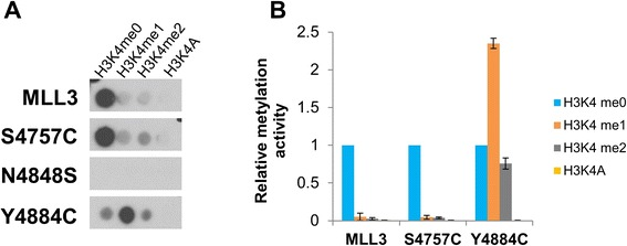 Substrate specificity of MLL3 protein variants. H3 (1 to 15) peptide arrays containing H3K4 at different methylation states and a K4A peptide were methylated with MLL3-SET wild-type and mutant proteins in the presence of complex members using radioactively labeled AdoMet. (A) Example of an autoradiographic image of the methylated peptide SPOT arrays, peptides with the corresponding lysine variants are indicated. (B) Quantitative analysis of the average methylation signals of two independent experiments. The methylation data were normalized to the H3K4me0 methylation signal obtained with the individual MLL3-SET variants. The error bars indicate the standard error of the mean.