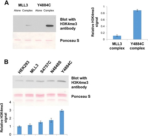 Product specificity of MLL3-SET wild-type and Y4884C at protein level. (A) Methylation of recombinant histone H3 protein by MLL3-SET wild-type and Y4884C alone and in the presence of complex members using unlabeled AdoMet as cofactor. After methylation, the proteins were separated by SDS-PAGE, blotted and the methylation was detected using an H3K4 trimethylated antibody (upper panel). The lower panel shows the Ponceau S-stained image of the blot. The bar diagram shows the average methylation signal from two independent experiments. The error bars indicate the standard error of the mean. (B) Global histone H3K4me3 methylation analysis from HEK293 cells. The cells were transfected with different MLL3 variant plasmids, histones were isolated, and H3K4me3 methylation was probed by Western blot. The upper image shows the H3K4me3 signal and a Ponceau S stain as loading control. The bar diagram shows the quantification from three experiments. The error bars display the standard error of the mean. The signal obtained from the MLL3 was set to 1, and the other signals were normalized accordingly.