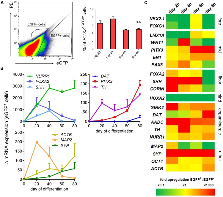 Transcriptional identity of PITX3 eGFP/w cells is midbrain dopaminergic. A second flow cytometry experiment was conducted to collect eGFP + and eGFP - cells for total RNA extraction and qPCR analysis on days 20, 40, 60, and 80. (A) Shows a typical FACS plot at day 20, and the strategy used to isolate eGFP + and eGFP - cells. This graph shows the percentage of live cells (from three independent experiments; ± SEM) sorted into the eGFP + gate at each time point. (B) qPCR analysis of the mRNA from at least 10 6 eGFP + cells showed upregulation of neuronal and midbrain dopaminergic genes (compared to hPSCs; one-way ANOVA with post hoc Dunnett's test, p