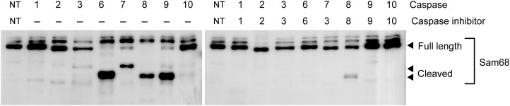 Cleavage of Sam68 by recombinant caspases. Cleavage of in vitro translated Sam68 by activated caspases. Biotin-labeled in vitro translated mouse Sam68 was incubated with 10 units of recombinant active caspase-1, -2, -3, -6, -7, -8, -9 and -10 for 1 h at 37°C. Caspase activity was blocked by pretreatment with caspase inhibitor, as indicated. The reactants were separated by SDS-PAGE and immunoblotted (IB) with streptavidin–HRP conjugate to detect full length or cleaved Sam68 proteins.
