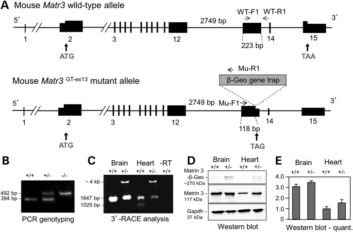 Analysis of the Matr3 Gt-ex13 gene trap allele. ( A ) Structure of mouse Matr3 wild-type and Gt-ex13 gene trap mutant alleles. Wild-type mouse Matr3 encodes an 846-amino acid protein. Intron 12 (2749 bp) and exon 13 (223 bp) are shown. Matr3 Gt-ex-13 gene trap allele inserts a β-Geo gene trap vector at position 118 bp in exon 13, which will generate Matr3-β-geo fusion transcripts. PCR genotyping primers depict WT-F1 (in exon 13) and WT-R1 (in intron 13) for the wild-type allele, and Mu-F1 (in exon 13) and Mu-R1 (in gene trap vector) for the mutant allele. Primers used in 3′ RACE are summarized on Materials and Methods. ( B ) E3.5 PCR genotyping shows 394-bp wild-type and 492-bp mutant alleles for wild-type (+/+), heterozygous (+/−) and homozygous (−/−) embryos. ( C ) Matr3 GT-ex13 3′ RACE analysis of mouse E14.5 brain and heart tissues detects a novel Matr3-β-Geo fusion transcript (∼4 kb) in heterozygotes. The long Matr3 3′ RACE product (1647 bp), the only form detected in brain, is reduced in heterozygous brain. Both long and short Matr3 3′ RACE products (1647 and 1025 bp) are reduced in heterozygous heart. ( D ) Western blot analysis of Matrin 3 protein isolated from wild-type and heterozygous mouse E15.5 brain and heart tissues. Gapdh was used as loading control. ( E ) Quantification of Matrin 3 protein expression in D. Bars are fold ± SEM expression level from mean of three independent experiments, corrected for loading, and normalized to a value of 1.0 for wild-type heart. The small increase in expression in Matr3 Gt-ex13/+ heart is not statistically significant.