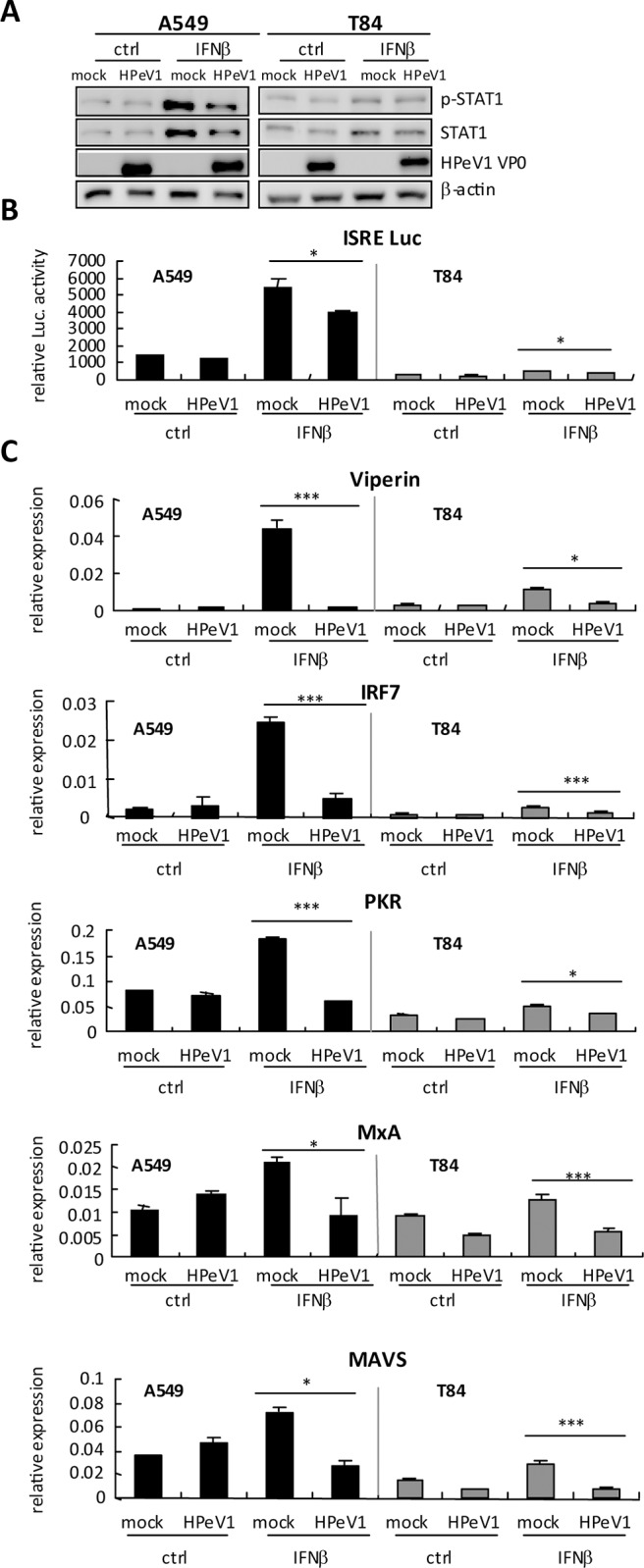 HPeV1 downregulates type I IFN activity. (A) A549 and T84 cells (3×10 5 ) were infected with mock or HPeV1 at MOI = 5 for 6 h, then treated with IFNβ (1000 U/ml) for 18 h; untreated cells are indicated as ctrl. Immunoblotting of levels of phospho-STAT1 and total STAT1 in whole cell extracts. HPeV1 VP0 indicates viral infection and β-actin is a loading control. (B) Interferon-stimulated response element (ISRE) reporter assay was performed in A549 and T84 cells (3×10 5 ) transfected with ISRE-luciferase reporter plasmids (400 ng) and control vector pRL-TK (40 ng) for 24 h, then infected with HPeV1 for 6 h. After 24 h of IFNβ (1000 U/ml) stimulation, ISRE luciferase activity was measured by dual-luciferase assay and (C) RT-qPCR of mRNA expression. Data are mean ± SD of at least 3 independent experiments. Student t test, * p