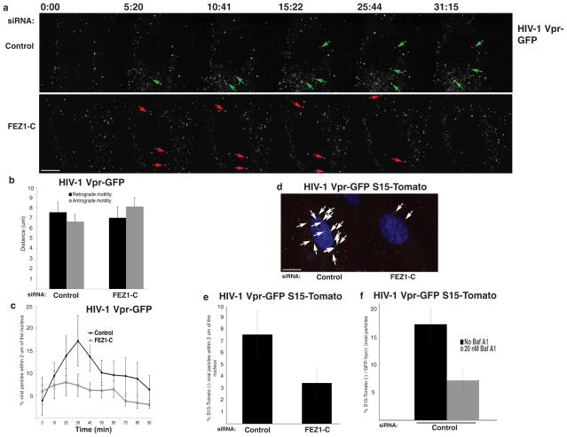 Depletion of FEZ1 inhibits HIV-1 trafficking to the nucleus NHDFs were treated with control or FEZ1-C siRNAs. 48h post-transfection cells were infected with HIV-1-VSV-GFP-Vpr followed by live imaging using a spinning-disc confocal microscope. (a) Still images from movies ( Supplementary Movies 1 and 2 ) taken at the indicated times are shown. Green arrows highlight viral particles entering and traversing the cytoplasm in control siRNA-treated cells. Red arrows highlight representative examples of particles that approach the nucleus but then move long distances back out to the cell periphery in FEZ1-depleted cells. (b) Quantification of the average distance (μm per 2.5 min) traveled by viral particles towards the nucleus (Retrograde motility) or away from the nucleus (Antrograde motility). n≥5 cells and an average of 7–30 viral particles per cell. (c) Quantification of the percentage of virions within 2μm of the nucleus in infected siRNA-treated cells at the indicated time points. n≥20 cells and an average of 80–99 viral particles per cell. (d–f) Depletion of FEZ1 affects HIV-1 particles that have productively fused into the cytoplasm. (d) NHDF cells were treated with control or FEZ1-C siRNAs. 48h after transfection cells were infected with HIV-1-VSV containing GFP-Vpr and S15-Tomato. 1h post-infection cells were fixed in formaldehyde and GFP and Tomato signals were acquired using a spinning-disc confocal microscope. Arrows highlight fused (green, S15-negative) particles proximal to the nucleus in each sample. Representative confocal planes are shown. (e) Quantification of the % fused (green, S15-negative) viral particles within 2μm of the nucleus in samples as described and processed in d. n≥29 cells and an average of 53–55 viral particles per cell. (f) Control siRNA-treated NHDF cells were treated with Bafilomycin A1 for 2h during spinoculation followed by infection with HIV-1-VSV containing GFP-Vpr and S15-Tomato. 1h post-infection cells were fixed and the total n