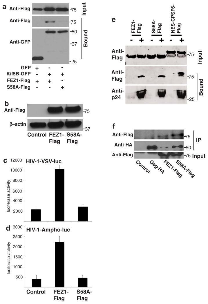 Binding to kinesin-1 is required for FEZ1 to promote early HIV-1 infection (a) 293A cells were transfected with vectors expressing a control GFP or GFP-Kif5B tail along with either FEZ1-Flag or FEZ1-S58A-Flag (S58A-Flag) constructs. Soluble cell extracts were prepared 48h post-transfection, precleared and GFP proteins were recovered by incubating samples with GFP-binding protein (GBP) covalently coupled to Sepharose. Input and bound proteins were then analyzed by WB using anti-Flag and anti-GFP antibodies. (b) Pools of NHDF cells stably expressing Flag control (Control), full-length C-terminally flag-tagged FEZ1 (FEZ1-Flag) or a C-terminally flag-tagged FEZ1 mutant unable to bind kinesin-1 (S58A-Flag) were lysed and analyzed by WB using antibodies against Flag or β-actin (loading control). (c–d) NHDF pools described in b. were infected with HIV-1-VSV-luc (c) or HIV-1-Ampho-luc (d) followed by measurements of luciferase activity 48h post-infection to determine levels of infection. Results are representative of 3 or more independent experiments, and error bars represent standard deviation. (e) Binding of FEZ1 or FEZ1-S58A to in vitro assembled HIV-1 CA-NC complexes. 293T cells were transfected with FEZ1-Flag, FEZ1-S58A-Flag (S58a-Flag) or NES-CPSF6-Flag constructs as described in the legend for Fig. 2 . Cells were lysed 36h post-transfection and the lysates were incubated at room temperature for 1h with in vitro assembled HIV-1 CA-NC complexes. The lysates were then analyzed by WB either before (Input) or after sedimentation through a 70% sucrose cushion (Bound) using anti-Flag and anti-p24 antibodies. (f) Binding of FEZ1-S58A to HIV-1 Gag by co-IP. 293A cells were co-transfected with a HA-tagged HIV-1 Gag expressing vector alone or together with FEZ1-Flag or FEZ1-S58A-Flag (S58A-Flag). Cells were lysed 48h post-transfection, and proteins were co-immunoprecipitated using anti-HA antibodies. Input and bound samples were then analyzed by WB either before (Input) or afte