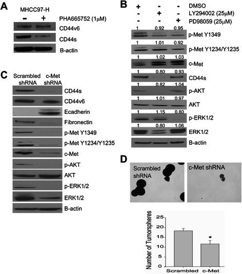 c-Met regulates CD44s expression through AKT signaling. (A) <t>MHCC97-H</t> cells were treated with 1 μM of PHA665752 for 24 h. Immunoblot analysis of CD44v6 (~160 kDa), CD44s (~85 kDa), and B-actin. (B) MHCC97-H cells were treated with 25 μM DMSO, LY294002 (PI3K inhibitor) or PD98059 (MEK inhibitor) for 24 h, and immunoblot analysis was performed. (C) MHCC97-H cells were stably transfected with c-Met <t>shRNA.</t> Lysates were collected after 2 passages and CD44s, fibronectin, and E-cadherin expression was via immunoblotting. (D) Tumorsphere formation (40X magnification) assay of stably transfected MHCC97-H cells with c-Met shRNA compared to scrambled control. The data represent the mean ± SEM of triplicates, *p