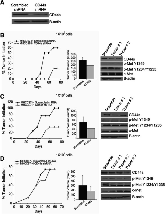 CD44s regulates tumor initiation in vivo . (A) Immunoblot of MHCC97-H scrambled and CD44s shRNA #1 before cells were injected into athymic nude mice. (B-D) Tumor initiation graph of MHCC97-H CD44s shRNA compared with the scrambled shRNA control. Bilateral subcutaneous injections of 1x10 2 , 1x10 3 , or 1x10 4 cells were inoculated into athymic nude mice, and the number of tumors formed and the percent tumor initiation were calculated (1x10 2 , N = 10; 1x10 3 , N = 8; or 1x10 4 , N = 6). Tumor volume was calculated at the end of the experiment and. Data represent the mean ± SD. Confirmation of down-regulation of CD44s and c-Met signaling was performed by immunoblotting.