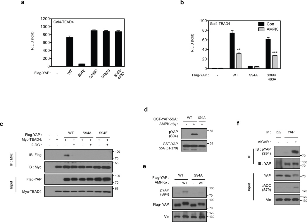 AMPK inhibits YAP activity through phosphorylation of serine 94 ( a ) Phosphomimetic mutant of YAP S94 abolishes YAP activity. The indicated plasmids were co-transfected with a 5×UAS-luciferase reporter for Gal4-TEAD4 and Renilla construct into HEK293T cells. The firefly luciferase activity levels were measured and normalized to Renilla luciferase activity levels (error bars represent ± s.e.m. from n=6 biological replicates). ( b ) S94 is important for YAP activity and inhibition by AMPK. All three AMPK phosphorylation sites in YAP were mutated to alanine. The YAP plasmids were co-transfected with the 5xUAS-luciferase reporter for Gal4-TEAD4 into HEK293T cells together with the control Renilla luciferase. After 48 hr, the firefly luciferase activity was measured and normalized to the co-transfected Renilla luciferase internal control (error bars represent ± s.e.m. from n=6 biological replicates). ( c ) S94 of YAP is essential for 2-DG-induced disruption of YAP-TEAD complex. HEK293A cells were transiently co-transfected with the indicated plasmids followed by treatment with 2-DG. Interaction between Flag-YAP and Myc-TEAD4 was determined by co-immunoprecipitation. ( d ) Evaluation of phospho-specific antibodies for YAP S94 phosphorylation. Phosphoantibody was prepared by immunizing rabbits with synthetic <t>phosphopeptides</t> containing phospho-YAP S94. Recombinant GST-YAP (51–270) fragment was purified from bacteria and phosphorylated by AMPK in vitro . After the reaction, 5 ng of the GST-YAP protein was detected by phospho-YAP S94 or GST antibody. The non-phosphorylatable mutant, GST-YAP-S94A was used as a negative control. ( e ) AMPK increases YAP S94 phosphorylation in transfected cells. Flag-YAP WT and YAP-S94A mutant were transfected into HEK293 cells with or without AMPK as indicated. Flag-YAP was immunoprecipitated and phosphorylation of S94 was detected by the pYAP(S94) phosphoantibody. ( f ) AICAR increases YAP S94 phosphorylation in vivo . Primary hepatocytes were treated with 2 mM AICAR for 4 hr. YAP was immunoprecipitated and phosphorylation of S94 was detected by the pYAP(S94) phosphoantibody. All blots shown are representatives from three independent experiments except panel e. ** P