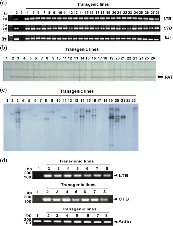 Detection of LTB, CTB and bar genes and phosphoacetyl transferase (PAT) in putative transgenic plant leaf tissues. (a) PCR amplification of LTB (217 bp), CTB (292 bp) and bar (302 bp) from transgenic rice genomic DNA. Lane 1 is the size marker. Lane 2 is the binary vector (pMJ103-LTB-CTB). Lane 3 is the wild-type. Lanes 4–28 are transgenic rice plants. (b) Lateral flow assay using the Trait LL lateral flow test kit (Strategic diagnostics). Lane 1 is the wild-type. Lanes 2–26 are transgenic rice plants. (c) Southern hybridization analysis of chromosomal DNA in transgenic rice. Genomic DNA from wild-type untransformed or independent transgenic rice T 0 lines carrying the pMJ103-LTB-CTB construct was hybridized with a probe specific for the LTB coding region. A total of 10 μg of total leaf genomic DNA from transgenic rice plants was digested with Xho I, which cuts at a single site within the binary vector pMJ103-LTB-CTB. (d) LTB and CTB gene transcripts in transgenic plants were detected by RT-PCR. Plant RNA was isolated from selected transgenic plant rice seeds and RT-PCR was performed using a primer pair that specifically amplified 107- and 111-bp DNA fragments of the LTB and CTB genes (lanes 2 to 8). Lane 1 shows the RNA of non-transgenic plants used as a negative control.