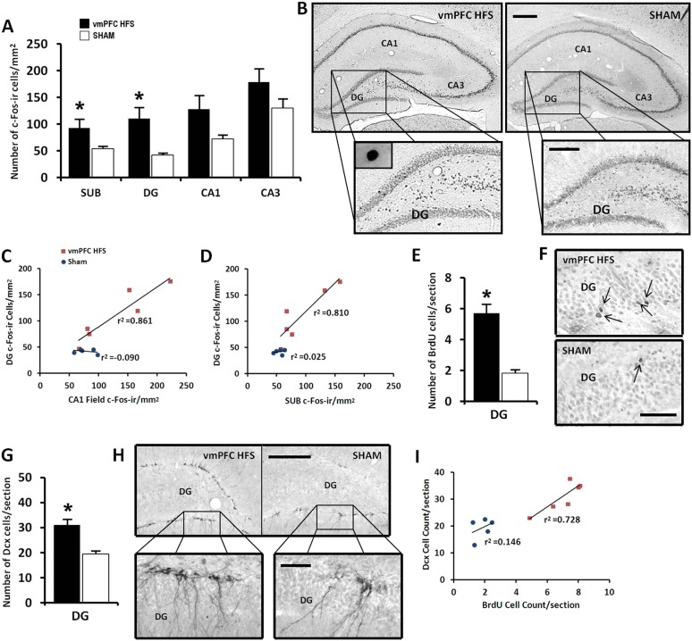 Effects of chronic vmPFC HFS on the hippocampal neuronal activity by c-Fos-ir ( A – B ) and the morphological changes related to neurogenesis functions ( E – I ). Note: VmPFC HFS increased the number of c-Fos-ir positive cells in the subiculum, DG, and a marginal difference (p = 0.059) in the CA1 field of the hippocampus as compared to the sham ( A–B ; scale bars: 500 μm, low-power magnification; 250 μm, high-power magnification). In neurogenesis-related morphology, after chronic vmPFC HFS, there was an increase of surviving BrdU-positive cells ( E–F , scale bar: 500 μm), and neural progenitors—Dcx-positive cells ( G–H ; scale bars: 300 μm, low-power magnification; 50 μm, high-power magnification). For correlational analysis, there was a strong relationship between the BrdU and Dcx cell-count ( I ). Importantly, the neurogenic zone of the DG was also highly correlated with the SUB and CA1 field of the hippocampus ( C–D ), indicating that these regions were functionally associated with memory functions after chronic vmPFC HFS. Abbreviations: SUB, subiculum; DG, dentate gyrus; CA1, CA1 field of the hippocampus; CA3, CA3 field of the hippocampus; vmPFC HFS, high-frequency stimulation of the ventromedial prefrontal cortex; BrdU, 5-bromo-2′-deoxyuridine; and Dcx, doublecourtin. Indication: *, significant difference from the sham rats, (p