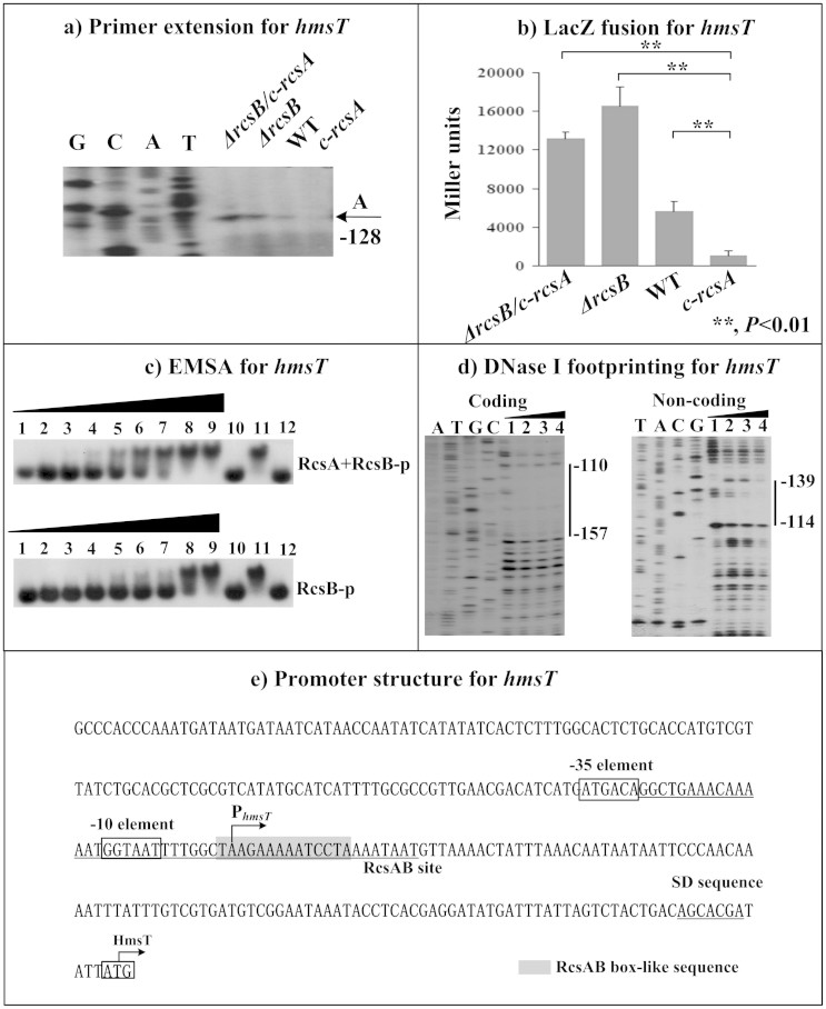 RcsAB-dependent expression of hmsT . Primer extension (a), LacZ fusion (b), EMSA (c), <t>DNase</t> I <t>footprinting</t> (d) experiments were performed as described in Fig 2 .