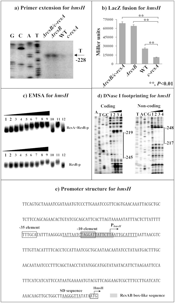 RcsAB-dependent expression of hmsHFRS . Primer extension (a), LacZ fusion (b), EMSA (c), and DNase I footprinting (d) experiments were performed as described in Fig 2 .